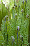 Ferns spirals detailed view. In the spring season stock image