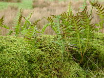 Ferns with spores. A group of ferns showing rusty brown spores on the underside of their fronds growing through a clump of moss Royalty Free Stock Image