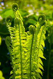 Ferns in Spring Stock Photos