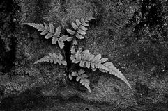 Ferns on stained rock black and white for background Stock Image
