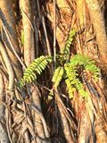 Ferns - strangler fig Stock Photography