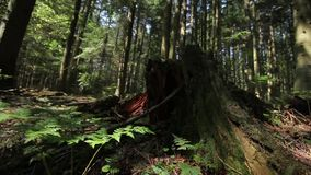 Ferns and Stump in the Forest. Dolly shot stock footage