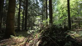 Ferns and Stump in the Forest Stock Photography