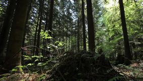 Ferns and Stump in the Forest. Dolly shot stock video footage