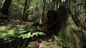 Ferns and Stump in the Forest stock footage