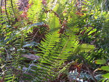Ferns in the sun Stock Images