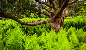 Ferns surrounding a tree in Longwood Gardens, Pennsylvania. Stock Photography