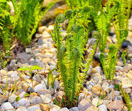Ferns to grow Stock Photo