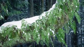 Ferns On Tree Trunk In Snowfall stock video footage