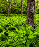 Ferns and trees in a lush forest in Shenandoah National Park Stock Photo