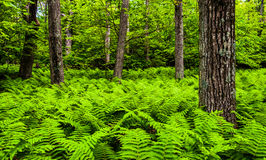 Ferns and trees in a lush forest in Shenandoah National Park Stock Image