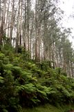 Ferns and trees on a mountain side in Victoria`s Yarra Valley and the Dandenong Ranges. Ferns and eucalyptus trees on a mountain side in Victoria`s Yarra Valley Royalty Free Stock Photography