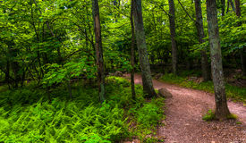 Ferns and trees on a trail in Shenandoah National Park Stock Photo