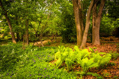 Ferns and trees in the woods at Cylburn Arboretum, in Baltimore, Royalty Free Stock Photo