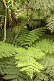 Ferns in tropical rainforest Royalty Free Stock Photography