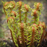 Ferns Uncurling Royalty Free Stock Photos