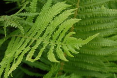 Ferns. Under the forest canopy Stock Photos