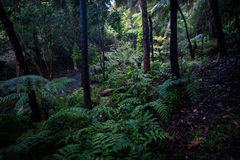 Ferns in the valley at Mount Lofty Botanic Gardens Royalty Free Stock Image