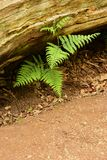 Ferns Vascular plant. Growing here in the damp earth below this fallen tree in Sherwood Forest, Nottinghamshire, England Royalty Free Stock Photo