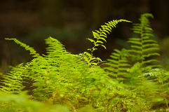 Ferns verdes Fotos de Stock Royalty Free