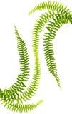 Ferns stock image