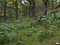 Ferns-wilderness. A forest floor full of lush green ferns amid the green trees and vegetation Royalty Free Stock Photo