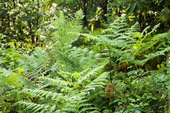 Ferns in a wood. Green ferns in a wood, horizontal image royalty free stock image