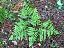 Ferns Royalty Free Stock Image