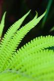 fernväxt royaltyfri foto