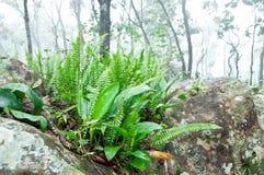 Fernväxt på rocken i dimmig skog royaltyfri bild