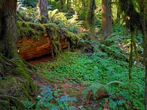 Fernview Forest. Forest scene at Fernview Campground - near Upper Soda, OR Stock Images