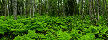 Ferny forest. Panoramic view of the ferny forest Stock Photo