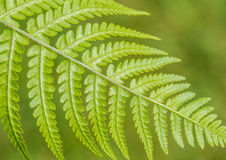 Ferny Stock Photography