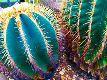 Ferocacti (Ferocactus electracanthus rodzina) (: Cacticeae) Obraz Stock