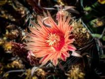 Ferocactus Cactaceae mit roten Blumen Lizenzfreie Stockfotografie