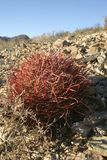 Ferocactus cylindreus, in the Sierra Nevada Mountains, Californi. A, USA Royalty Free Stock Photos