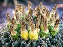 Ferocactus with fruits from Phoenix, Arizona Royalty Free Stock Images