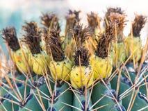 Ferocactus with fruits from Phoenix, Arizona Stock Photography