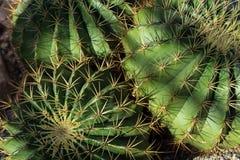 Ferocactus histrix cactus plant with shadow Stock Photos