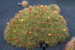 Ferocactus robustus in Jardin de Cactus garden, Guatiza, Lanzarote Island.  royalty free stock image