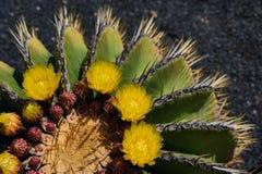 Ferocactus schwarzii Abschluss herauf Ansicht stockbild