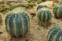 Ferocactusglaucescens (DC.) B.&R., kaktus växer i sand Fotografering för Bildbyråer