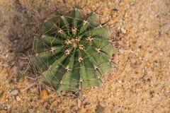 Ferocactuslatispinus fotografering för bildbyråer