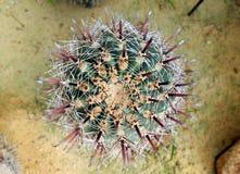 Ferocactuspeninsulae Stock Foto