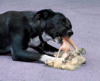 Ferocious. Dog destroying barbie stock photography