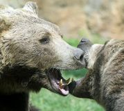 Ferocious bears struggle with powerful shots Royalty Free Stock Photography