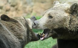 Ferocious bears struggle with powerful shots and open jaws bites Stock Images