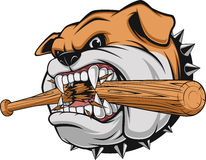 Ferocious Bulldog head. Vector illustration, a fierce bulldog breaks a baseball bat Royalty Free Stock Photo