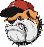 Ferocious Bulldog head. Vector illustration, a fierce bulldog wearing a cap baseball cap, against a white background Royalty Free Stock Photos