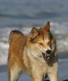 Ferocious Dog Photo Stock Photos